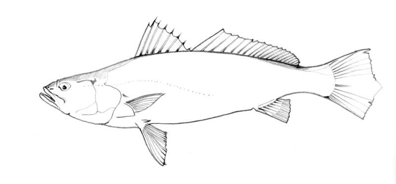 Cichlasoma Meeki 237 likewise Barreleye Fish With Tubular Eyes And Transparent Head also In Stock likewise Working Undercover In A Slaugh furthermore Silver Carp Hypophthalmichthys Molitrix. on oscar fish mouth
