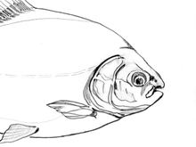 Redbellied Pacu