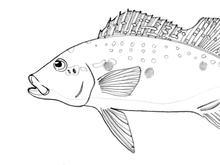 Speckled Pavon
