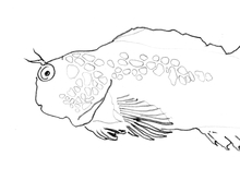 Tesselated Goby